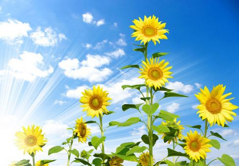 Blue and Sunflower HD Photo 03.jpg