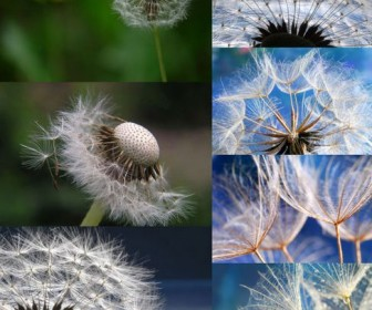 Dandelion close-up high-definition picture (7P)